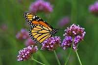 Agriculture _ Monarch butterfly Danaus plexippus adult on a purple flower / Michigan, USA