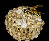 Agriculture _ European paper wasp Polistes dominula on itÕs nest / Michigan, USA