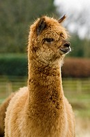 Livestock _ Closeup of a brown alpaca paco adult on a pasture during winter / Cumbria, England, United Kingdom