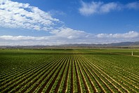 Agriculture _ Strawberry fields / CA _ Santa Maria