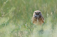 A wild burrowing owl on the prairies, Saskatchewan, Canada