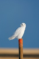 Snowy owl perched on fencepost, Alberta, Canada