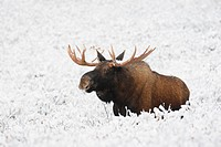 Bull moose Alces alces in winter snow, Western Canada