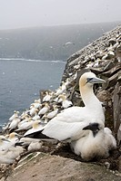 Northern gannet Morus bassanus, adult and chick at nesting colony, Cape St. Mary´s Ecological Reserve, Newfoundland, Canada