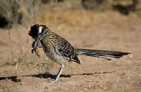 Male Greater roadrunner Geococcyx californianus with Desert spiny lizard Sceloporus magister as prey, Bosque del Apache National Wildlife Refuge, New ...