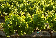 Agriculture _ Wine grape vineyard with Spring foliage growth and immature grape clusters backlit by early morning sunlight / CA _ Salinas Valley