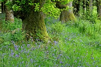 Dense patch of Common Bluebells Hyacinthoides non-scripta, Endymion non-scriptus, Scilla non-scripta growing in a forest clearing, Scottish Highlands,...