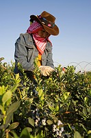 Agriculture _ A woman field worker harvests blueberries in late Spring early morning light / near Delano, San Joaquin Valley, California, USA.