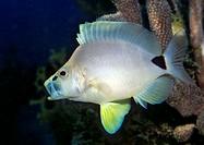 Butter Hamlet fish (Hypoplectrus unicolor), Netherlands Antilles, Caribbean