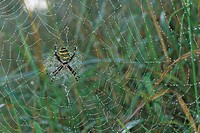 Wasp Spider (Argiope bruennichi) in its web covered in morning dew