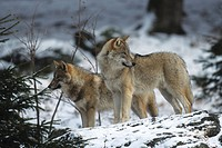 Grey or Timber Wolves Canis lupus in the snow, outdoor enclosure, Nationalpark Bayerischer Wald, Bavarian Forest National Park, Bavaria, Germany, Euro...