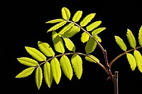 European Rowan leaves, Mountain Ash, (Sorbus aucuparia), spring foliage, shoots, backlight, photosynthesis