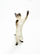 Siamese cat _ standing on hindpaws _ cut out restrictions: insurance industry