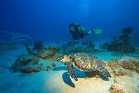 Hawksbill Turtle (Eretmochelys imbricata) and scuba diver, Caribbean, Honduras, Central America