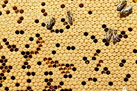 Bees Apis mellifera var  carniola on the honeycomb with covered cells and pollen