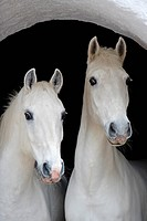 two Lipizzan horses _ portrait