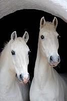 two Lipizzan horses _ portrait