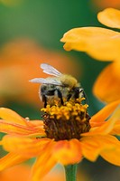 Bee gathering pollen on zinnia
