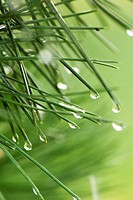 Dew drops on pine needles, close-up