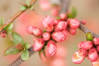 Spring pink flowering shrub