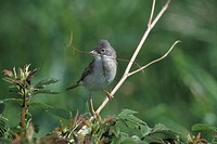 Whitethroat (Sylvia communis) with nesting material