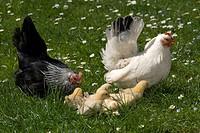 Japanese Bantam or Chabo chickens with chicks, Schwaz, Tyrol, Austria, Europe