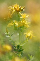 Common St. Johnswort, Klamathweed (Hypericum perforatum), Biely vrch, White Carpathian Mountains, protected landscape area, Biele Karpaty, Czech Repub...