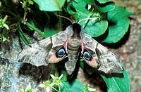 Eyed Hawk-Moth (Smerinthus ocellata)