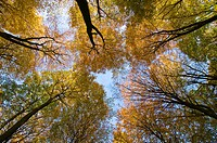 Upward view of an autumnal beech forest (Fagus sylvatica), Germany, Europe