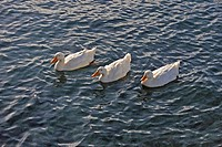 Albino Mallard Ducks (Anas platyrhynchos) swimming in formation