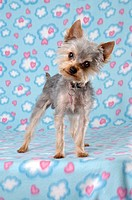 Portrait of a Yorkie dog on colorful blue and pink background