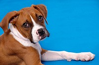 Portrait of a Boxer puppy