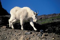 Mountain goat Oreamnos americanus walking on gravel