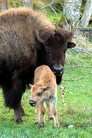 Bison  Bison bison and baby bison standing in forest