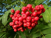 Cluster of rowanberries
