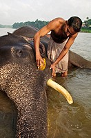 Mahout bathing his elephant  Periyar River, Kerala, India