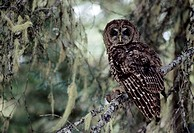 A Northern Spotted Owl in a tree in the Olympic National Forest in Washington
