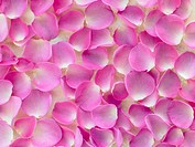 Large Group Of Pink Rose Petals