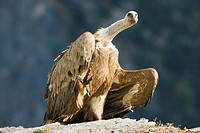 Bearded vulture Gyps fulvus at Ordesa and monte perdido national park, Huesca province, Aragon, Pyrenees, Spain