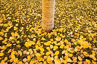 Fallen autumn aspen leaves cover the ground surrounding a lone aspen trunk after a rainshower in the La Sal mountains near Moab, Utah
