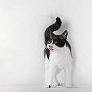 Black and white cat licking chops