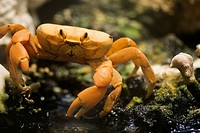 Clipperton Crab