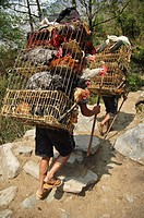 Porters loaded with live chickens  Annapurna Circuit, Nepal