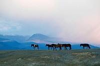 Mongolia, horses