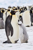 Emperor Penguins, Aptenodytes forsteri, on fast ice adjacent to Snow Hill Island in the Weddell Sea, Antarctica, October, 2007. The chick, now off of ...