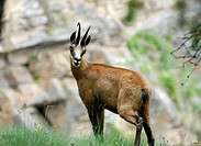 Chamois, Rupicapra rupicapra, an ungulate belonging to the subfamily Caprinae of the sheep and goat family Bovidae. Chamois are native to the European...