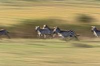 Plains zebras Equus quagga in motion, Masai Mara, Kenya, Africa