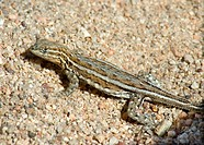 The Side_blotched lizards, Uta stansburiana, are lizards of the genus Uta. They are some of the most abundant and commonly observed lizards in the des...