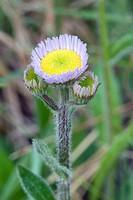 Robin´s Plantain, Erigeron pulchellus.