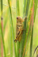 A dew_covered grasshopper.